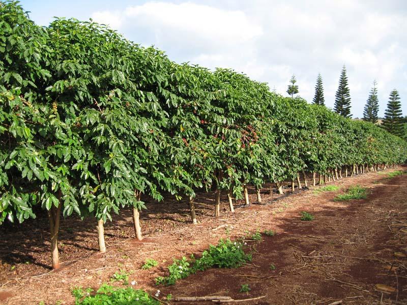 Виды кофейных деревьев